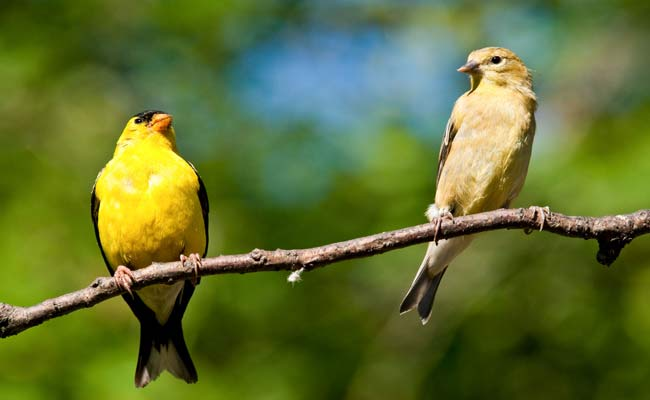 American Goldfinch Song, Calls, Sounds, Habitat, And Personality
