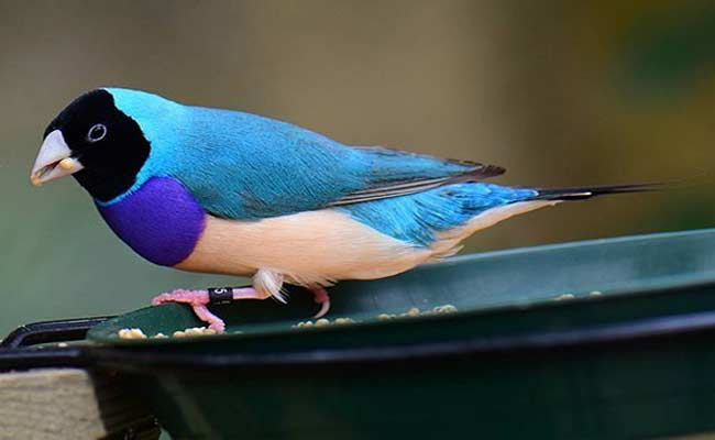 Blue Gouldian Finch Breeding, Diet, And Care