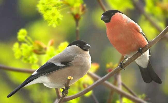Eurasian Bullfinch Song, Care, Habitat, And Personality