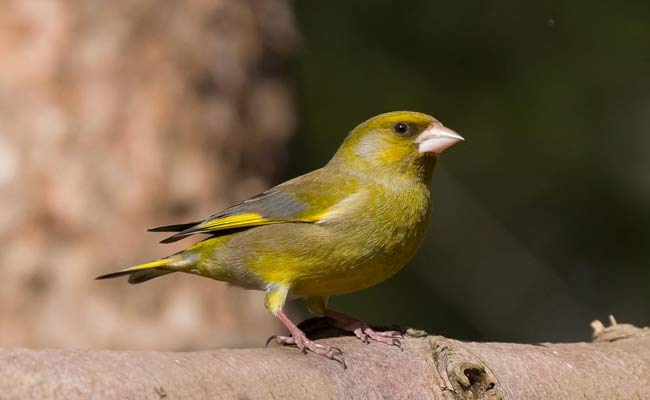 European Greenfinch Song, Care, Habitat, And Personality