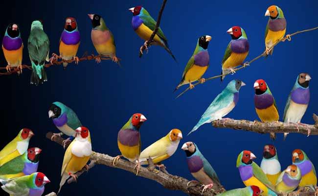 Gouldian Finch Care, Lifespan, Song, Habitat, Food, Nest