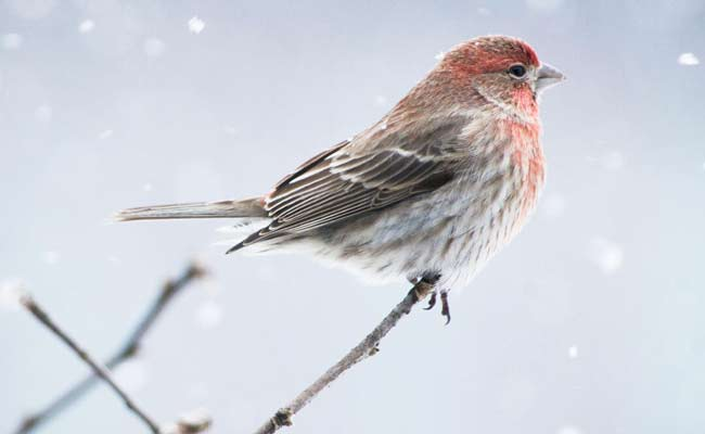 house finch pictures