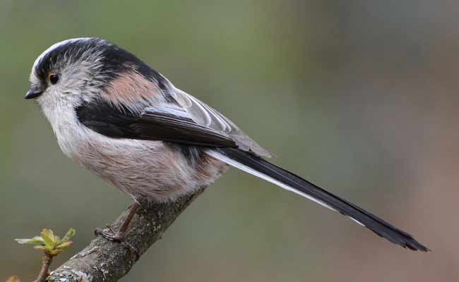 All About Long Tailed Tit Bird-Aegithalos Caudatus