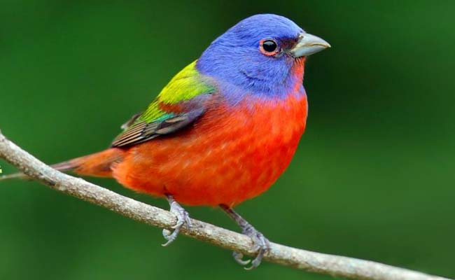 Painted Bunting Song, Diet, Habitat, And Personality