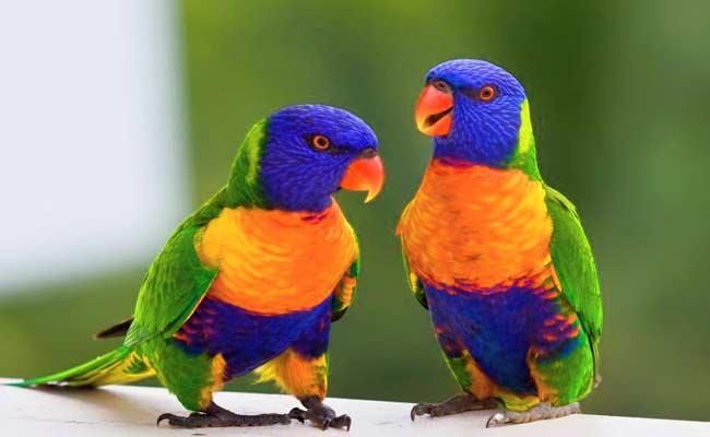 Rainbow Lorikeet Diet, Care, Behavior, And Personality