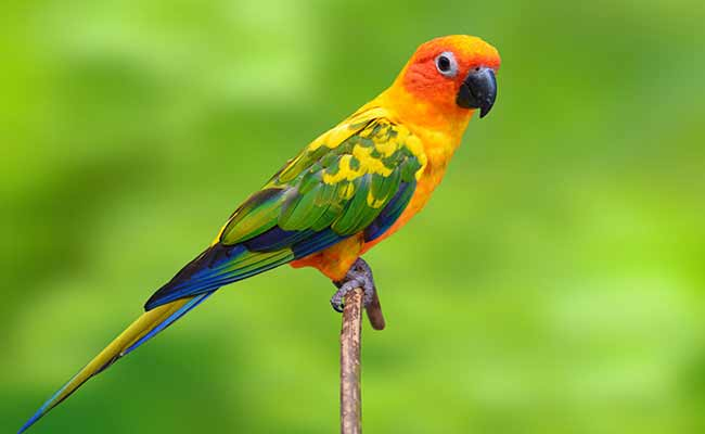 Sun Conure Care, Behavior, Diet, And Personality