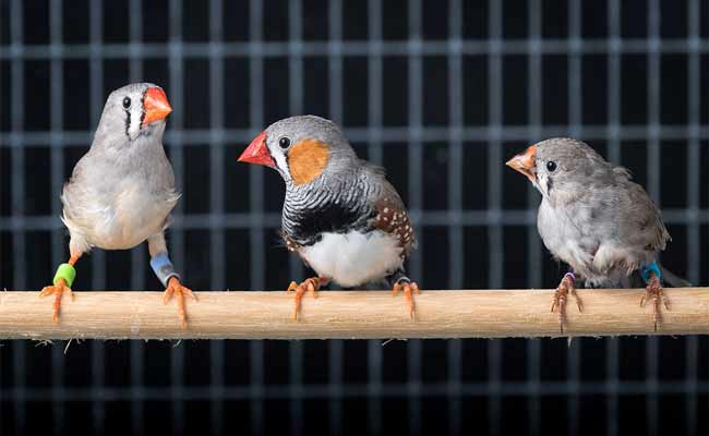 Zebra Finch Care, Habitat, Food, And Personality