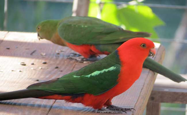 Australian King Parrot Diet, Facts, Habitat, And Personality
