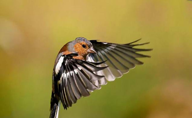 Common Chaffinch Song, Habitat, Nesting, And Personality