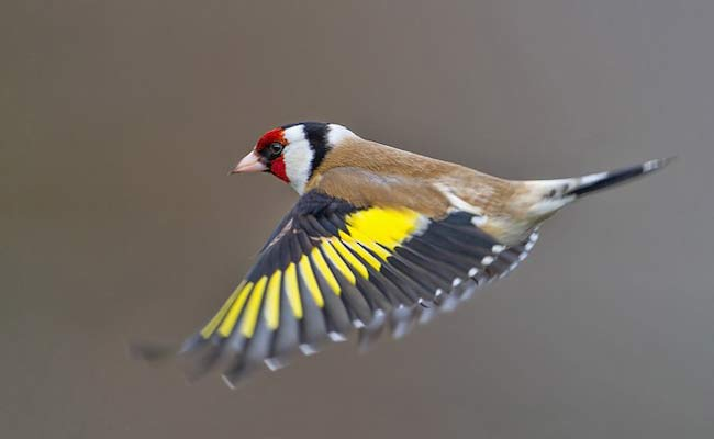 European Goldfinch Song, Care, Habitat, And Personality