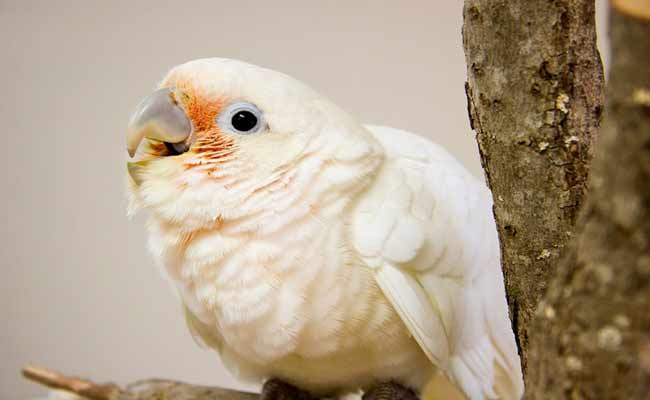 Goffin Cockatoo Behavior, Pet Care, Diet, And Personality