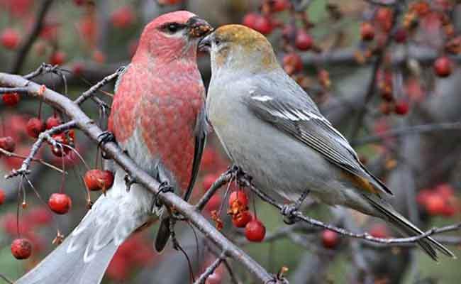Pine Grosbeak Song, Diet, Nesting, And Personality