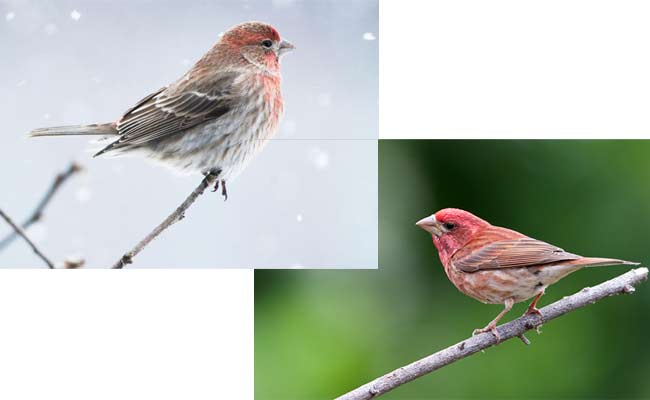 difference between house Finch and Purple finch