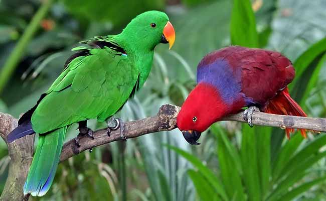 Solomon Islands Eclectus Parrot Diet, Care, And Personality