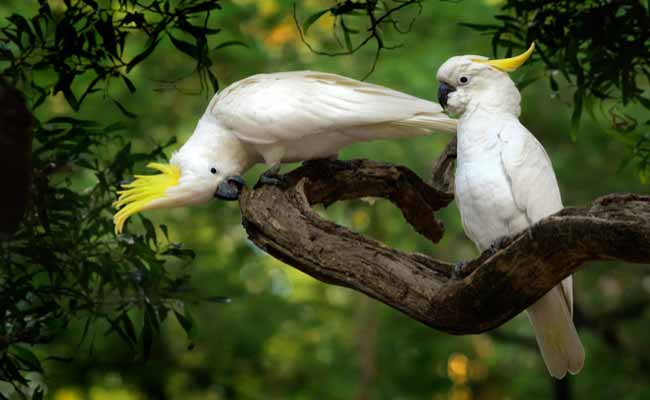 Sulphur Crested Cockatoo Diet, Facts, Care, And Personality