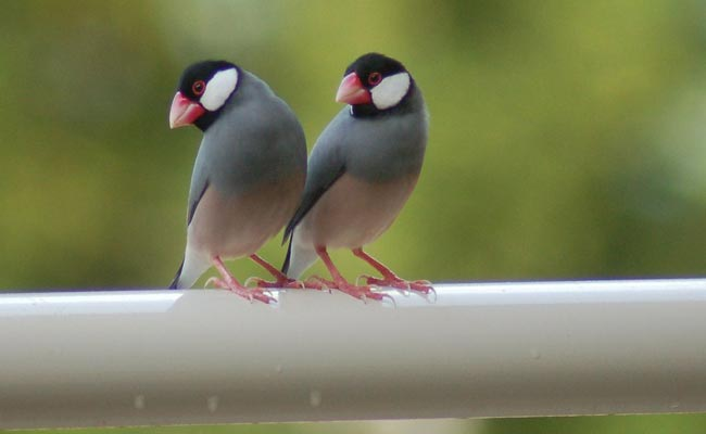 Java Finch Breeding, Care, Habitat, Price, And Personality