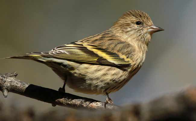 Pine Siskin Song, Call, Diet, Habitat, And Personality